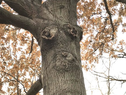 The tree face